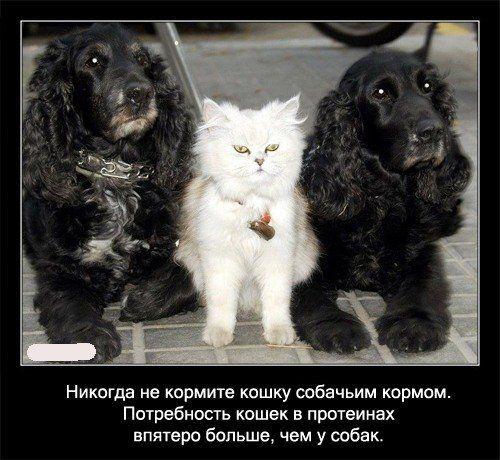 Никогда не кормите кошку   собачьим кормом. Потребность кошек в протеинах впятеро больше, чем у   собак.