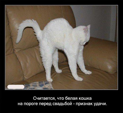 Считается, что белая кошка на пороге перед свадьбой -   признак удачи.