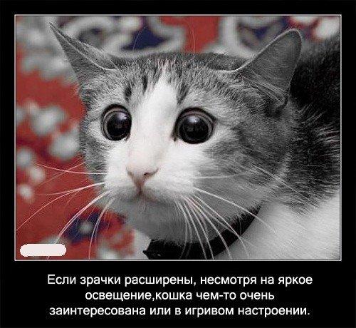 Если зрачки   расширены, несмотря на яркое освещение, кошка чем-то очень   заинтересована или в игривом настроении.