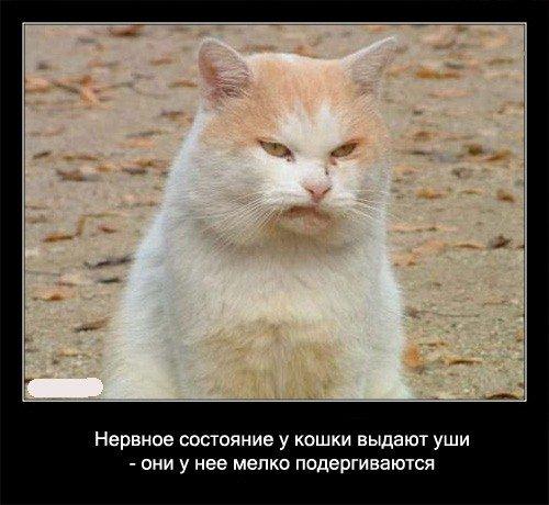 Нервное состояние у кошки выдают уши - они у нее   мелко подергиваются