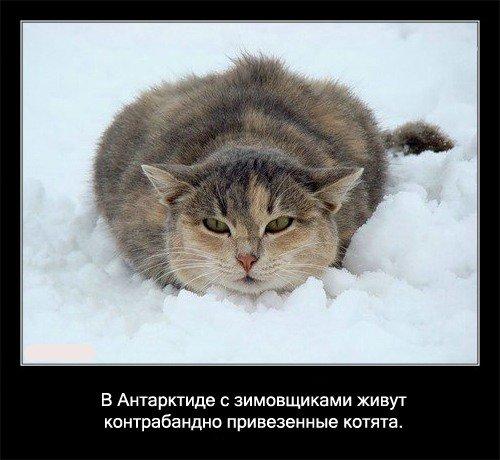 В   Антарктиде с зимовщиками живут контробандно привезенные котята.