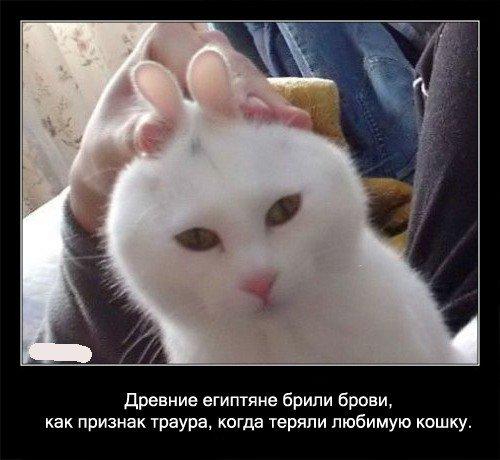 Древние египтяне брили брови, как признак траура,   когда теряли любимую кошку.