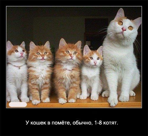 У кошек в помете, обычно, 1-8   котят.