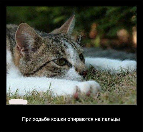 При ходьбе кошки упираются на   пальцы