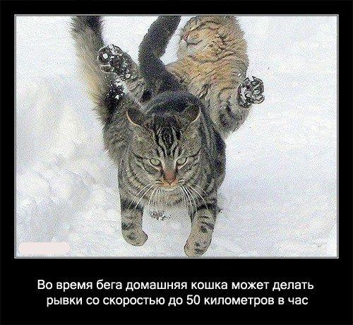 Во время бега домашняя кошка может делать рывки   со скоростью до 50 километров в час