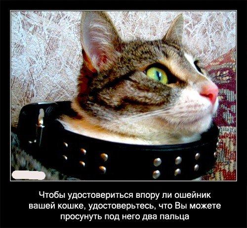 Чтобы   удостовериться в пору ли ошейник вашей кошке, удостоверьтесь, что Вы   можете просунуть под него два пальца