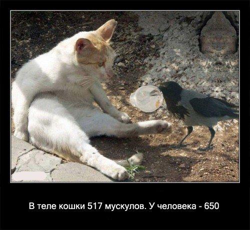 В теле кошки 517   мускулов. У человека - 650.