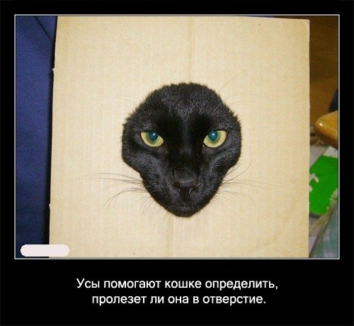 Усы   помогают кошке определить, пролезет ли она в отверстие.