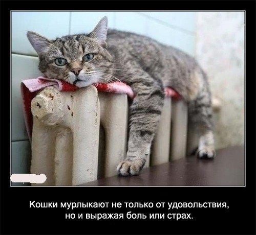 Кошки мурлыкают не только от удовольствия, но и выражая   боль или страх.