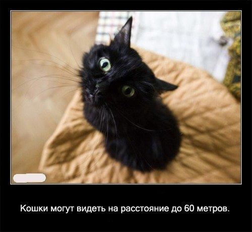 Кошки могут   видеть на расстояние до 60 метров.