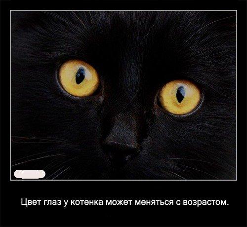 Цвет глаз у   котенка может меняться с возрастом.