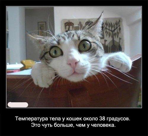Температура тела у кошек около 38 градусов. Это чуть   больше, чем у человека.