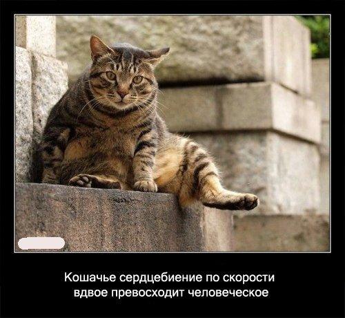 Кошачье сердцебиение по скорости вдвое превосходит человеческое.