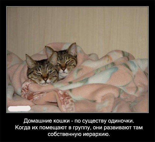 Домашние кошки -   по существу одиночки. Когда их помещают в группу, они развивают там   собственную иерархию.