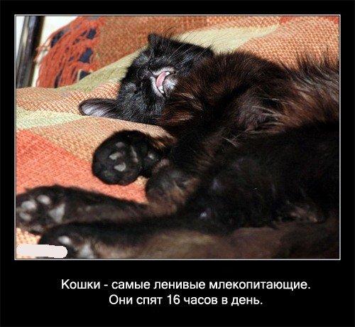 Кошки - самые ленивые млекопитающие. Они спят 16 часов в день.   Семилетняя кошка бодрствовала только в течение двух лет жизни!