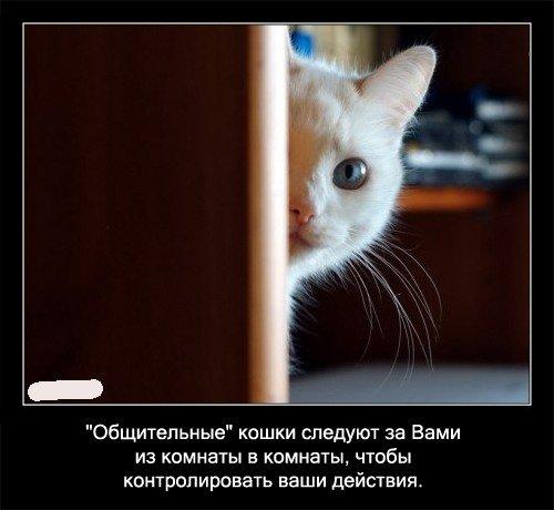 Общительные кошки следуют за Вами из   комнаты в комнату, чтобы контролировать ваши действия.