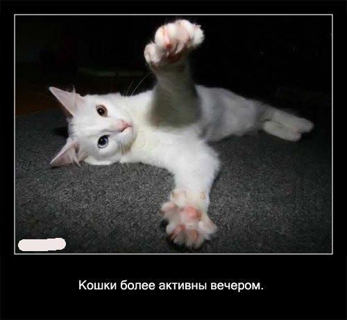 Кошки более активны вечером.