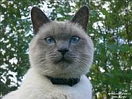 Знакомьтесь: такая разная тайская кошка. tayskaya 1 Знакомьтесь: такая...